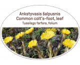 Common colt's-foot, leaf / Tussilago farfara, folium