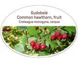 Common hawthorn, fruit / Crataegus monogyna, carpus