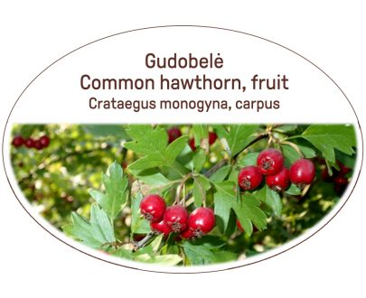 Common hawthorn, fruit / Crataegus monogyna, carpus