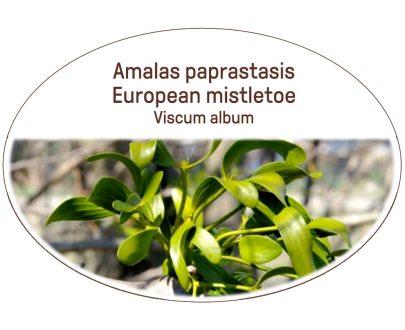 European mistletoe, Viscum album