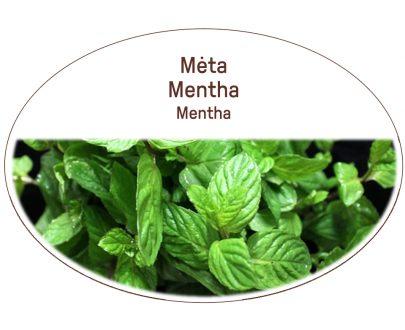 Mint, Mentha