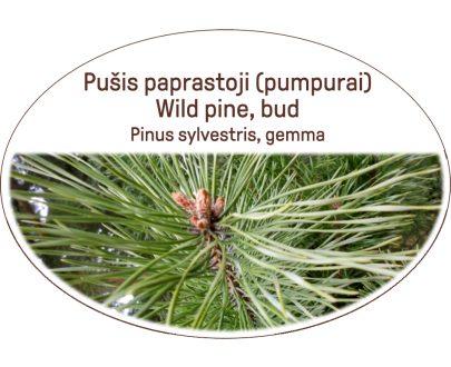 Wild pine, bud / Pinus sylvestris, gemma