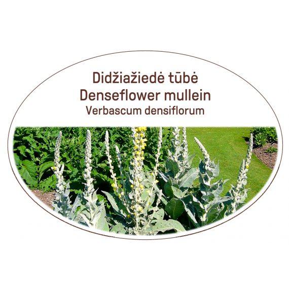 Denseflower mullein, Verbascum densiflorum